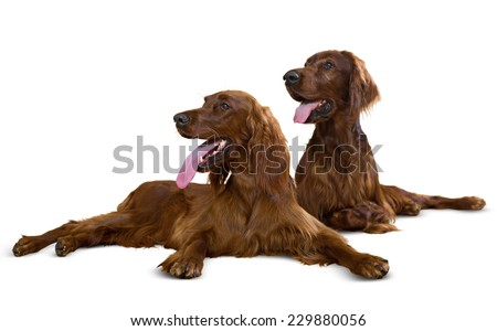Couple of Irish Setters. Isolated over white background - stock photo