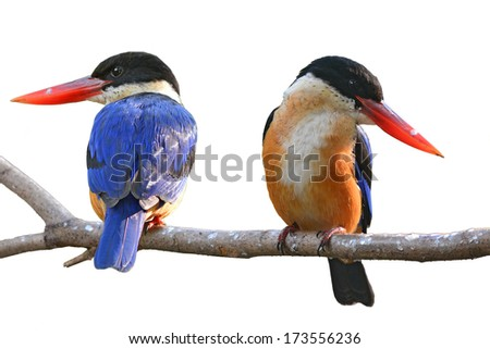 Couple of Kingfisher Bird (Black-capped Kingfisher) perching on a branch, white background - stock photo