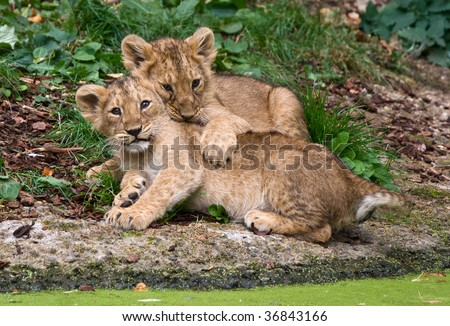 couple of lions cubs - stock photo