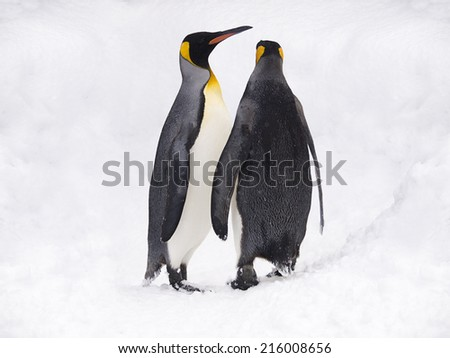 Couple of lovely King Penguins under snowfall, Hokkaido, Japan - stock photo