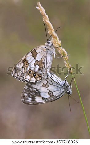 Couple of Marbled Whites - stock photo