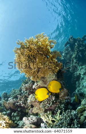 Couple of Masked butterflyfish (chaetodon semilarvatus) on a tropical coral reef. Beacon rock, Red Sea, Egypt. - stock photo