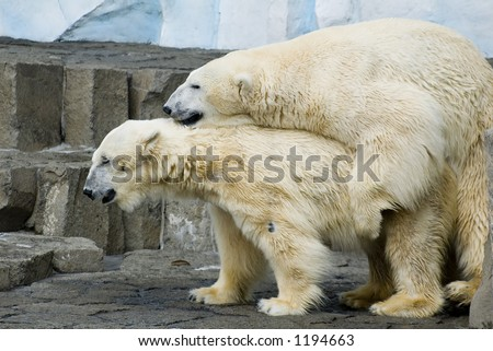 Couple of mating polar bears