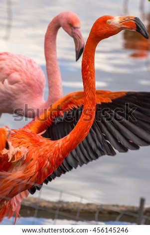 couple of pink flamingo on the pond