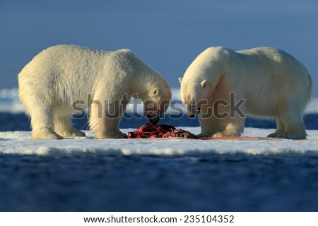 Couple of polar bears tearing hunted bloody seal skeleton in Arctic Svalbard - stock photo