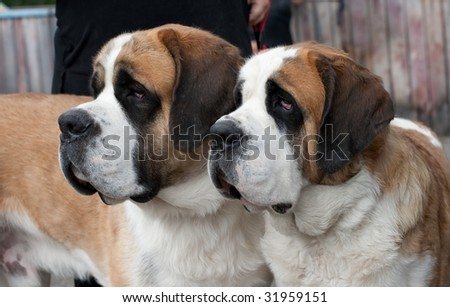 Couple of purebred st bernard dogs - stock photo