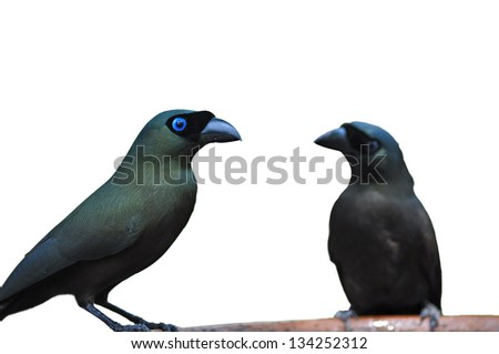 Couple of Racket-tailed Treepie (Crypsirina temia), Black bird is drinking water