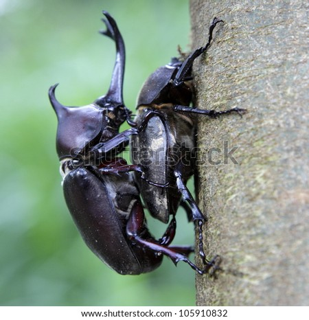 Couple of Rhinoceros beetles are mating on Formosan ash. - stock photo