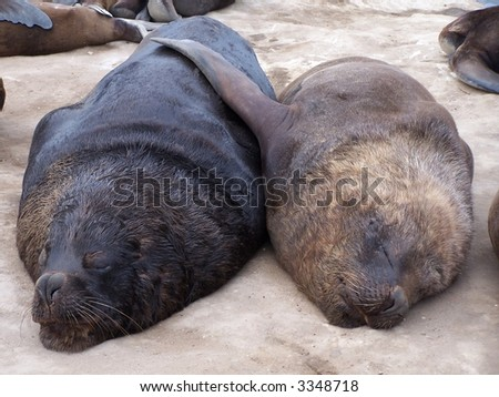 Couple of seals in the Mar del Plata harbor. Argentina - stock photo