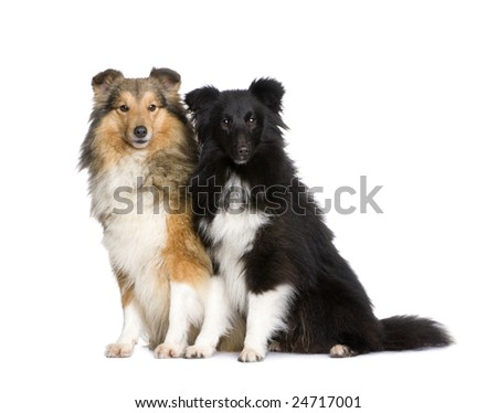 couple of shelties in front of white background - stock photo