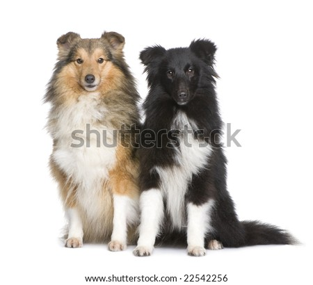 couple of shelties sitting in front of white background - stock photo