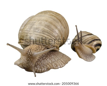 Couple of snails in exciting position.