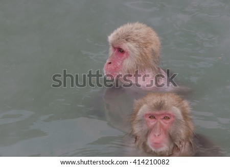 Couple of Snow Monkeys in a Hot Spring. Japanese Macaque Onsen Monkey. - stock photo