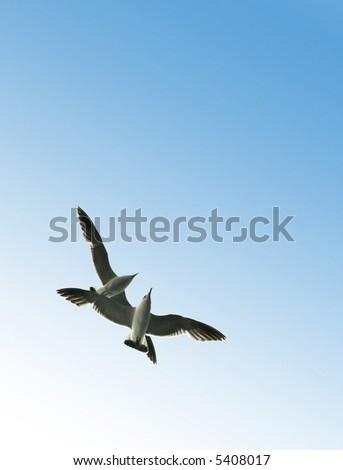 Couple of soaring seagulls - stock photo