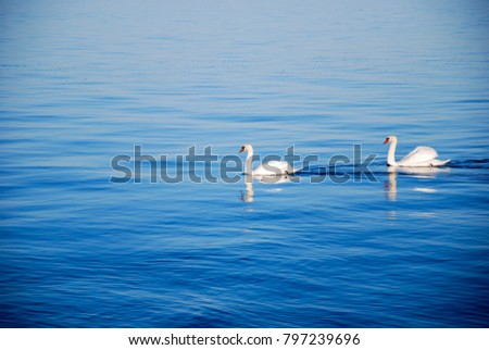 Couple of sunlit graceful white swans in a calm blue water