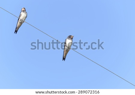Couple of swallows, over a power line. Sunny day with blue sky. - stock photo