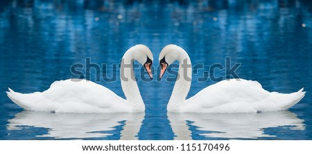 Couple of swans - stock photo