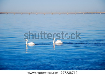 Couple of swans in calm water in front of the Oland Bridge in Sweden