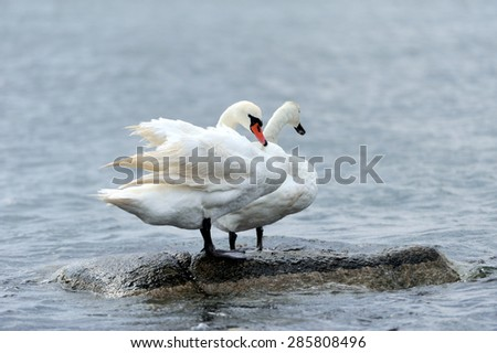 Couple of swans on a stone in sea. Cloudy day. - stock photo