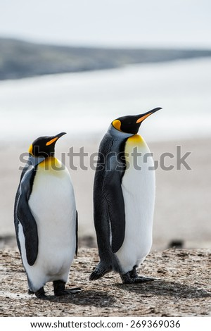 Couple of the King penguins in Antarctica - stock photo