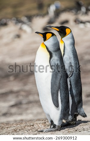 Couple of the king penguis