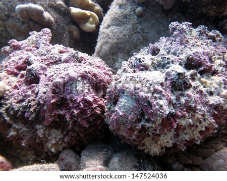Couple of the purple Stonefishes (Synanceia verrucosa)  the ugliest fish in the Red sea, lying on the bottom, the perfect camouflage