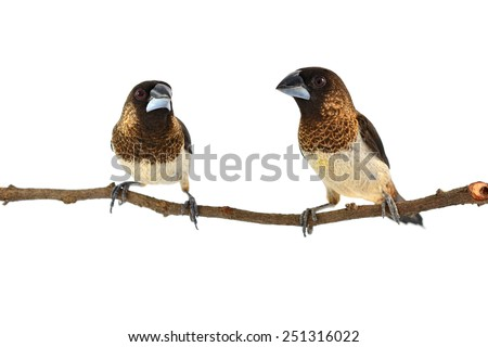 Couple of White-rumped Munia (Lonchura striata) perching on a branch isolated on white background