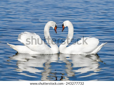 couple of white swans - stock photo
