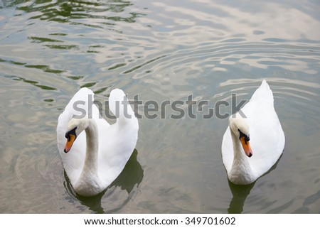 Couple of white swans swimming in a pond - stock photo