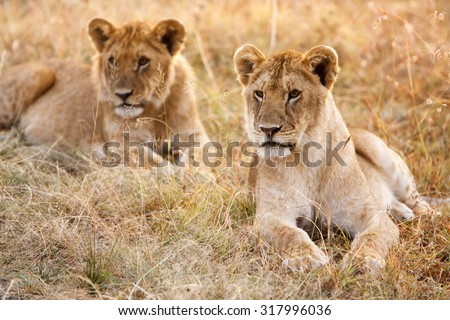 Couple of young lion cubs (Panthera leo) in natural grassland environment of African savanna. Wildlife protection, safari, overland trip concept.  - stock photo