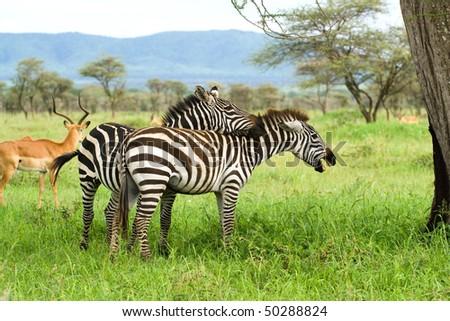 couple of zebras - stock photo