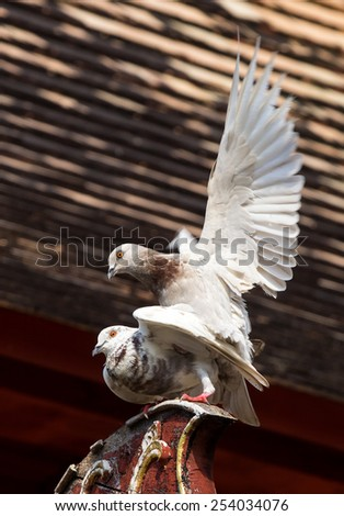 Couple pigeon in breed action.Rooster pigeon spread the wings upside pigeon female. - stock photo