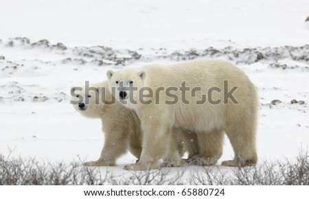 Couple. Polar bears have become interested. Snow-covered tundra. It is snowing. - stock photo