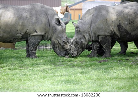 couple rhinos, facing each other on the green grass - stock photo