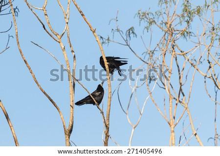 Couple Rook. Corvus frugilegus. - stock photo