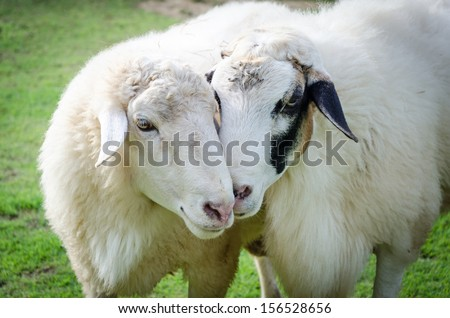 Couple sheep lover - stock photo