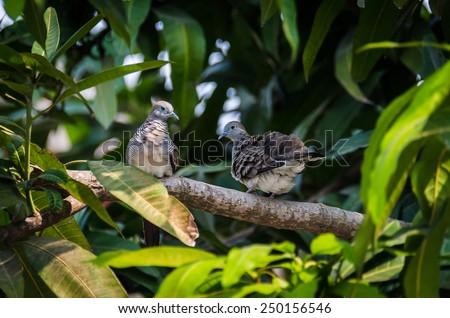 Couple Zebra dove on the branch - stock photo