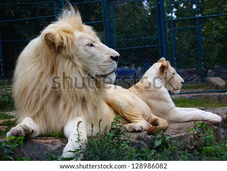 couples of lion - stock photo