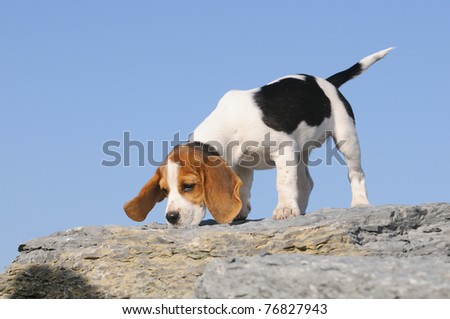 courageous small Beagle Puppy 3 months stands on the rocks - stock ...
