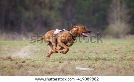 Coursing, passion and speed. Rhodesian Ridgebacks dog run across the field. sunny day