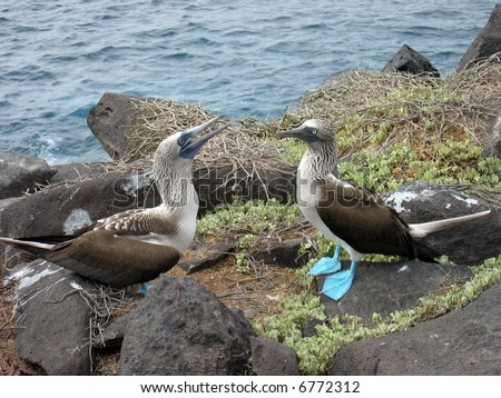 Courting Blue Footed Boobies in the Galapagos Islands - stock photo