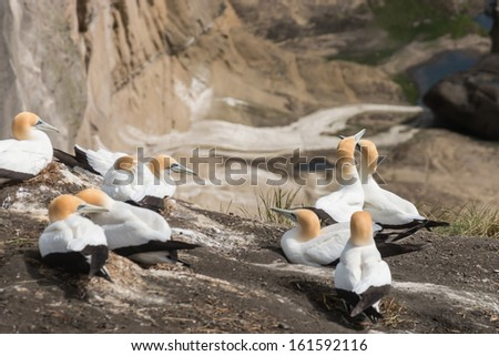 courting gannets - stock photo