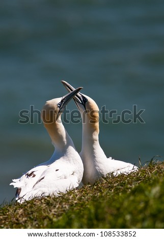 Courting northern gannets at Bempton Cliffs, Yorkshire, UK. The defocused blue North Sea is seen in the background and provides ample room for copy if required. - stock photo