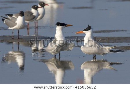 Courtship of royal terns (Thalasseus maximus) at the ocean beach, Galveston, Texas, USA.