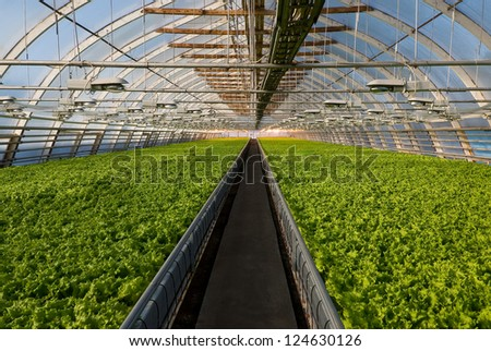 Covered greenhouse with two beds of lettuce - stock photo