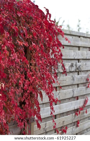 covered wooden fence during autumn. overgrown with wild vine.  ( Virginia  Crepper ) - stock photo