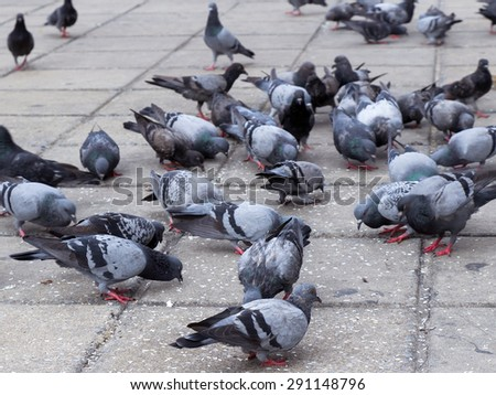 Covey of pigeon birds has a meal in the ground - stock photo