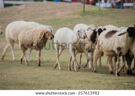 covey sheep are walking in farm - stock photo