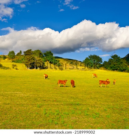 Cow and Bull Grazing on Alpine Meadows in France - stock photo