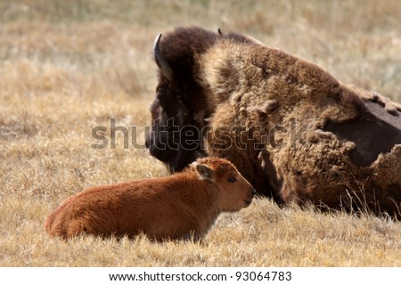 Cow and calf bison resting in pasture - stock photo